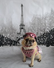 A Pug In Paris (DaPuglet) Tags: pug pugs dog dogs pet pets animal animals paris france europe eiffeltower trip costume beret french friends sunrays5 alittlebeauty coth coth5