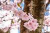 20170403-DSC_9510 (compidoc) Tags: bluete blumenpflanzen hamburg kirschbluete plantenunblomen tiere tulpe vogel zustand