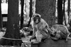 Care for each other (grundi1) Tags: sony alpha 68 ilca68 a68 kärnten carinthia landskron sigma1770f2845dcmacro black white schwarz weis japanmakaken macaca fuscata japanese macaque snow monkey blackandwhite sigma 1770 f2845 affenberg greifvogelschau monkeymountain tierpark zoo