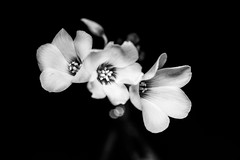 The Triplets (ajecaldwell11) Tags: hawkesbay macro flowers ankh flower bw caldwell blackbackgroundflowers blackandwhite newzealand light