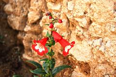Flor sagrada (Gaby Fil Φ) Tags: cuzco qosqo cusco regióncusco sanblas flores flornacionaldelperú cantuta inka perú sudamérica culturasancestrales naturaleza colores florsagradadelosincas