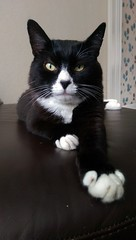 Max (KT-wu) Tags: blackandwhitecat cat kitty maxthecat tuxedocat handsome paws poser