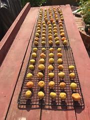 Making umeboshi (from apricots) (305 Seahill) Tags: umeboshi pickledplum apricot umezu japanese