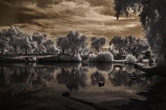 Egrets On A Peaceful Morning At Lindo Lake - Infrared (Bill Gracey 15 Million Views) Tags: infrared infraredphotography ir convertedinfraredcamera lindolake lakeside clouds water trees egrets birds nature highcontrast