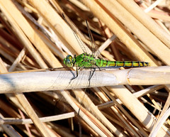 Western Pondhawk Dragonfly -- Female (Erythemis collocata); Albuquerque, NM, Tingley Beach Park [Lou Feltz] (deserttoad) Tags: nature newmexico water park refuge insect pondhawk odonate dragonfly green