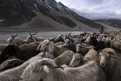 Mountain Goats. (Ravikanth K) Tags: 500px mountain goat sheep domestic animals shepard cattle heard hills spiti valley himachal pradesh india outdoor travel landscape river morning people horns winter snow capped
