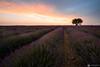 Lavender Sunset (mainone) Tags: burningsky france landscape landschaft lonelytreelonelytree lavandula lavendel clouds provence tree frankreich lavendre valensole hauteprovence sunset lavender natue field visipix