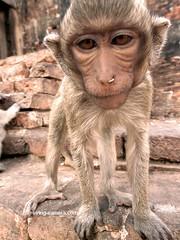Wide Angle Close-up of a Monkey at San Phra Karn Temple, Lopburi, Thailand (deemixx) Tags: thailand lopburi monkey macaque