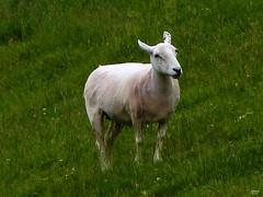Have You Seen My Woolly Dress? (caren (Thanks for 2.0 Mio+ views)) Tags: sheepshearing ewe farm countryside sheep welshsheep