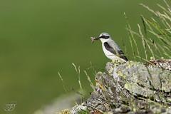 Traquet motteux (Tifaeris) Tags: coldutourmalet hautespyrénées muscicapidés northernwheatear oenantheoenanthe passériformes traquetmotteux bird oiseau