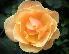 Rose (vern Ri) Tags: rose flower fleur blumen bloom flora fiori fuji xt20 yellow peach