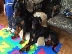 Share the Chair (firehouse.ie) Tags: k9 dobes puppy pup saxon gabbana dobie dobies doberman dobermans dobermann dobermanns pinscher pinschers dobe dobey male female black