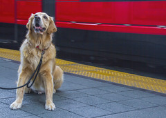 Why can't I ride the trolley? (Karon Elliott Edleson) Tags: 52weeksfordogs golden goldenretriever canine trolley masstransit outdoor