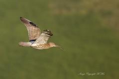 Curlew in flight. (nondesigner59) Tags: numeniusarquata curlew flight bird wildlife nature wadingbird copyrightmmee eos7dmkii nondesigner nd59