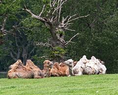 Camels (having a gossip perhaps) (celia.mulhearn) Tags: bactriancamel longleat ef70200mmf4lusm