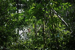 White-Handed Gibbon and Long-Tailed Macaque (alida behind the camera) Tags: gunungleuser park forest jungle rainforest orangutan biosphere ecosystem wildlife nature apes