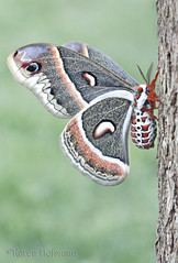 Cecropia (chevymom0) Tags: cecropia moth silkmoth nature lepidoptera michigan macro canonrebelxti downriver beautiful bug insect wings colorful conservation
