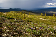 White Mountains Lupine