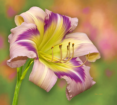 English Skies (ChristopherLeeHewitt) Tags: daylily flower nature stamens color yellow purple pink farm nursery grower pollen summer july dof petals portrait plants bloom