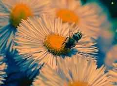 Biene auf einer Aster (Argentarius85) Tags: nikond5300 sigma105mmf28exdgoshsm biene bee aster astereae asteraceae makro macro blüte petal blütenblatt flower blume blossoms blossom detail details bokeh depthoffield dof anthophila insect insekt softcolour colours farben natur nature garten nahaufnahme flügel