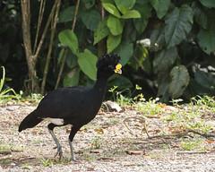 Great Curassow (J.B. Churchill) Tags: birds costarica cracidae curassowschachalacasguans grcu greatcurassow heredia laselvaotsreserve places taxonomy cr laselva