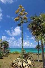 """Eleuthera: Century plant (Ali Bentley) Tags: eleuthera """"century plant"""" agave bloom flower eleutheraisland thebahamas bahamas island caribbean centuryplant canon"""