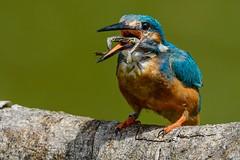 Kingfisher / Eisvogel mit Frosch (t_neuber) Tags: kingfisher lasauge alcedoatthis eisvogel natur wildlife switzerland