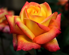 """Variegated Rose • <a style=""""font-size:0.8em;"""" href=""""http://www.flickr.com/photos/44801982@N04/35103366422/"""" target=""""_blank"""">View on Flickr</a>"""