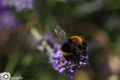Interested Bee (Mike House Photography) Tags: bee bumble bumblebee insect pollination lavender yellow black purple garden outdoor save bees wings fly flying landed