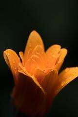 African_daisy_9265 (Bill Quayle) Tags: africandaisy raindrops orange