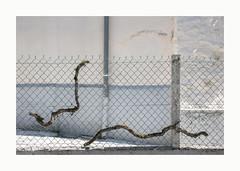 Ligne de fuite (hélène chantemerle) Tags: murs clôture grillage tuyau souchesdevigne lumière soleil blanc fence vinestump pipe light sun white walls