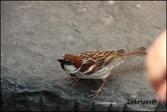 affamato (imma.brunetti) Tags: uccelli fiume mugnone piume becco zampe firenze passero ali natura