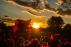 MONFERRATO SUNSET (erikamarson) Tags: monferrato hills colline landscape puppy papaveri sunset tramonto red flowers