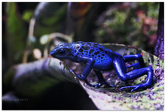 Blue cheese - 1370824 (willfire) Tags: willfire singapore wildlife blue dart poisonous frog cheese