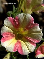 Alpujarras14. Petunias (ferlomu) Tags: almeria alpujarras andalucia ferlomu flor flower petunia