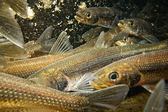 """Rainbow smelt spawning run • <a style=""""font-size:0.8em;"""" href=""""http://www.flickr.com/photos/142691167@N05/35208961966/"""" target=""""_blank"""">View on Flickr</a>"""