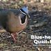 Blue-headed Quail-Dove, Starnoenas cyanocephala