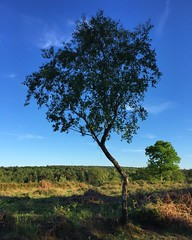 Bendy Tree (Marc Sayce) Tags: bendy tree woolmer ranges forest conford whitehill longmoor south downs national park hampshire may spring 2017