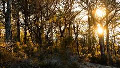 Evening sun in the pine forest (dan.kristiansen) Tags: pineforest pinetrees pine pinus furuskog furu pinussylvestris evening kveld kveldssol sol sun lowsun light