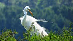 """""""Blowin in the Wind"""" (Suzanham) Tags: bird egret white plumage greategret windy cypress"""
