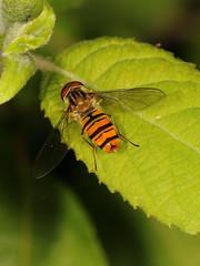 EOS 7D Mark II_049487 (gertjan.kamsteeg) Tags: animal invertebtate bug insect fly hoverfly syrphidae marmaladehoverfly episyrphusbalteatus macro