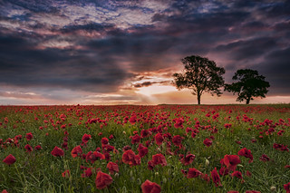 Poppies to tree's