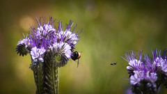 To Each his Own (ursulamller900) Tags: pentacon28100 bienenfreund insekt insects purple lila bumblebee hummel bokeh blur colorful phacelia