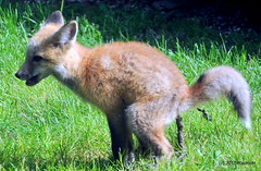 DSC_0747 (rachidH) Tags: fox renard vulpes foxcub renardeau redfox renardroux vulpesvulpes backyard frontyard wildlife sparta newjersey nj rachidh nature