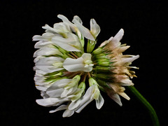 White Clover (alfredo_tomato) Tags: lexingtonky olympusem10 sigma30mm28 macro flowers