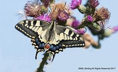 Swallowtail (snapp3r) Tags: swallowtail norfolk butterfly