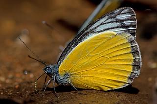Delias agostina - the Yellow Jezebel