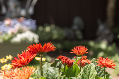 yard flowers (Dotsy McCurly) Tags: yard flowers gerbera daisy orange red lavender yellow nature beautiful bokeh canoneos5dmarkiii 7dwf