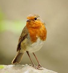 Robin (Bogger3.) Tags: britishrobin mygarden coth5 sunrays5 canon600d tamron150x600lens coth