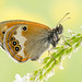 Coenonympha arcania (Marcin Błoch) Tags: afsdxmicronikkor85mmf35gedvr nikond7000 insect flower dragonfly butterfly colors spider stackfocus naturallight